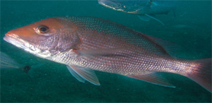 red_snapper_swimming_cropped_300